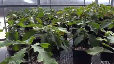 Hobson Oak Seedlings Grow the Legacy